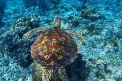 68a1351b-62bb-451d-8c55-89d4ecd7a6c1-Philippines-Bohol-diving-scuba-sea-turtle-SS_large